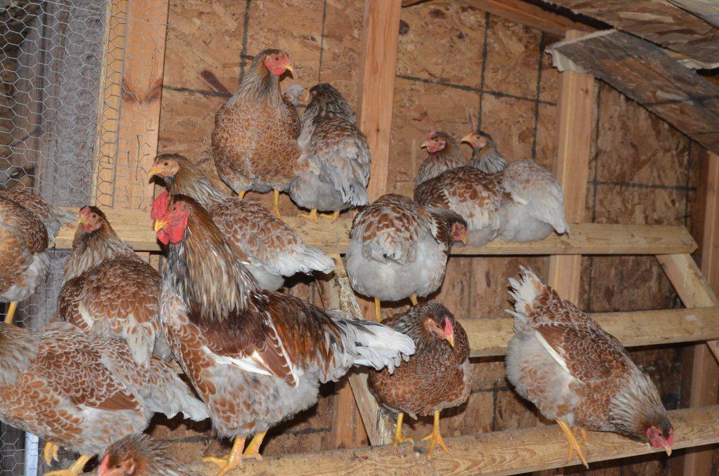 Blue Laced Red Wyandotte Hatching Eggs – chicken